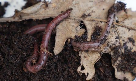 Earthworms drag fallen leaves and other plant material down from the surface and excrete the rich mix of loam and living things called topsoil.