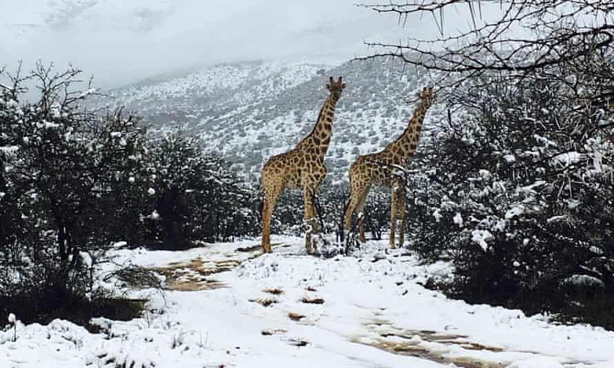 Giraffes in the snow in the Karoo region of South Africa.