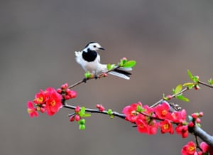 A white wagtail on blossom in central China's Henan province.