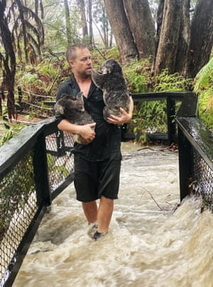 A staff member rescues koalas during a flash flood at the Australian Reptile Park