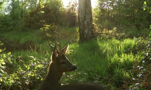 A roebuck captured on a camera trap in Deerness Woods.