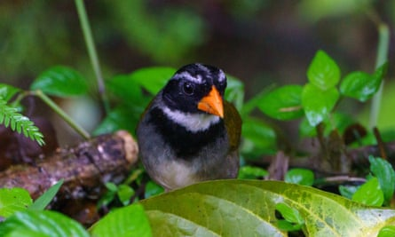Study of the orange-billed sparrow (Arremon aurantiirostris), pictured, found that song complexity deteriorated with habitat loss.