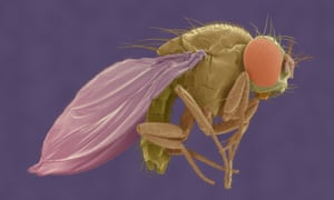 Scanning electron micrograph of a fruit fly. Scientists discovered the tiny magnetic field sensors in fruit flies, but they can also form in butterfly, rat, whale and human cells.