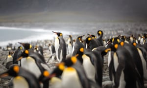 Science And Society Essay King Penguins In Salisbury Plain South Georgia Island Best Business School Essays also English Class Reflection Essay Antarcticas King Penguins Could Disappear By The End Of The  High School Essay Writing
