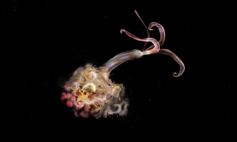 Osedax mucofloris, AKA the 'bone-eating snotflower'.