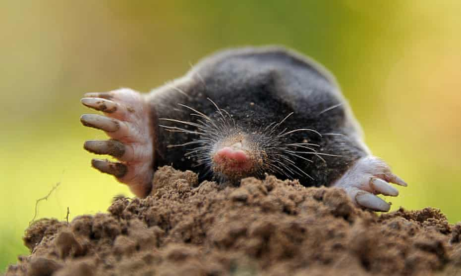 A mole digging its way from out of the ground