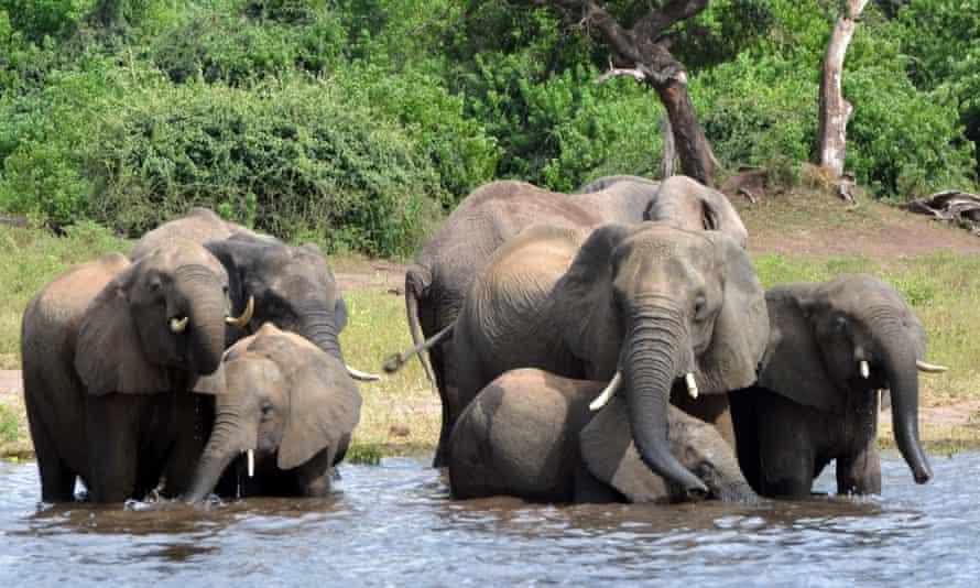 Elephants drink water in the Chobe national park in Botswana.