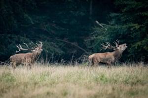 Red deer stags roar in Dyrehaven in Klampenborg, Denmark