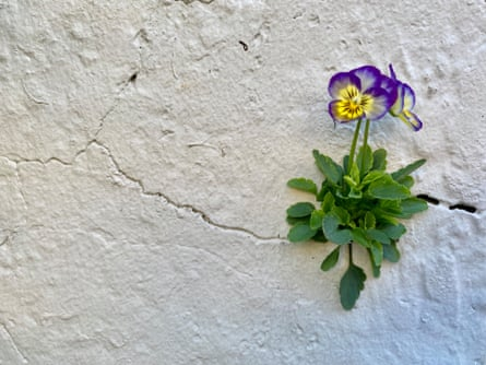 A viola grows in a crack in the wall at Nightingale's Camp Hill home.