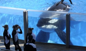 A killer whale watches trainers at SeaWorld Orlando