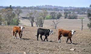 Cattle on a drought stricken farm in northern NSW