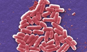 Scientists took a strain of bacteria called E coli nissle as the starting point for their living medicine.