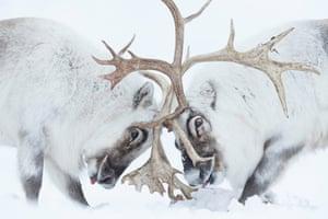 two fighting reindeer