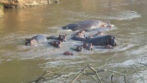 A pod of hippopotamus spotted during a wildlife patrol in Virunga National Park by Goldman environmental prize winner Rodrigue Katembo