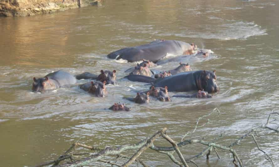 A pod of hippopotamus spotted during a wildlife patrol in Virunga National Park