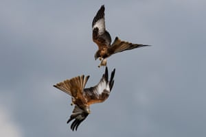 Red kites fight each other in mid air for food at Watlington Hill in Oxfordshire, England