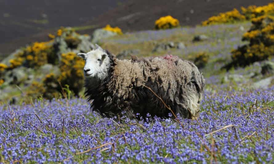 A herdwick sheep at Rannerdale Knott in the Lake District