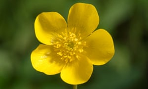Image result for buttercup flower