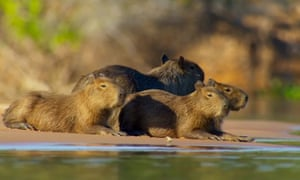 The creature I most connected with … capybara in Planet Earth II.