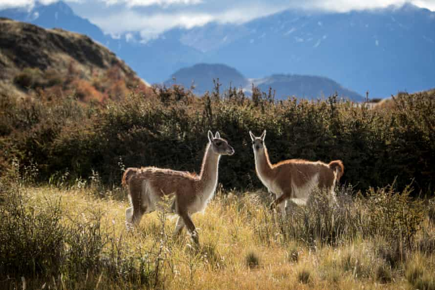 Since the sheep were sold and the fences removed, native guanaco herds have flourished from an unsustainable population of several hundred to an estimated 3,000.