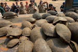 Wildlife officials take pictures of elongated tortoises confiscated from smugglers in Kandal, Cambodia.