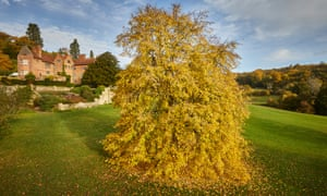 A Weeping Lime tree, displaying autumnal yellows at Chartwell, the home and gardens of Sir Winston Churchill. Kent.