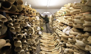 A Zimbabwe National Parks official inspects the country's ivory stockpile at its headquarters in Harare