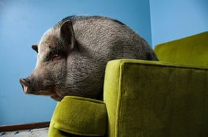Vincent J Musi: Daisy Mae. Daisy Mae, a miniature Vietnamese potbellied pig, relaxes in her home in West St Paul, Minnesota. This image is from Taming the Wild, a story by Musi that was published in the March 2011 issue of National Geographic magazine
