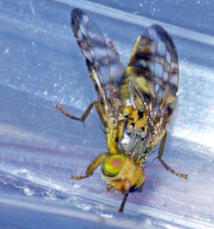 A freshly emerged picture-winged fly