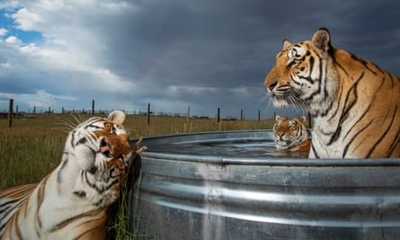 Three tigers at a sanctuary in Colorado after being rescued from the Tiger King's park.