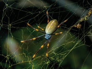 A female eastern golden orb-weaver from Brisbane in Queensland.