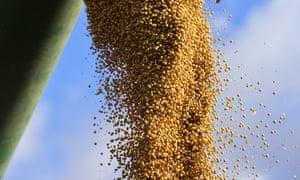 Harvesting soya beans