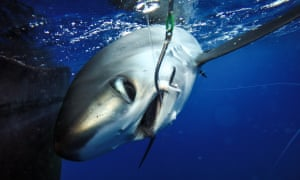 Researchers are tagging sharks that are caught by accident so that they can track their movements and survival rates. Data from a tag on this particular female silky shark indicates that she has survived.
