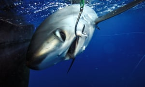The project by The Nature Conservancy involves tagging sharks that are caught unintentionally so that researchers could track them and figure out if they survive after being released.