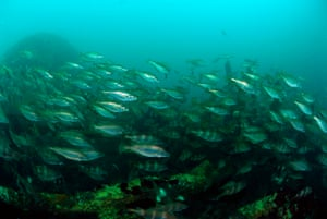 A school of poutings over a wreckage in Humber, United Kingdom. Since the expedition launch two months ago, Oceana has covered almost 2,000 nautical miles and documented up to 700 species in 13 areas of interest, some of which had been previously unstudied.