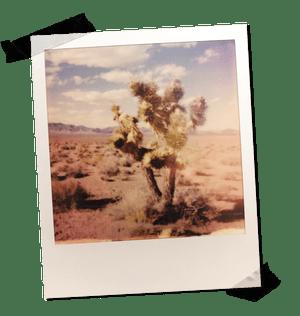 A Joshua tree in the desert.