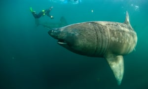 Two basking sharks with two photographers in  Mull, Scotland