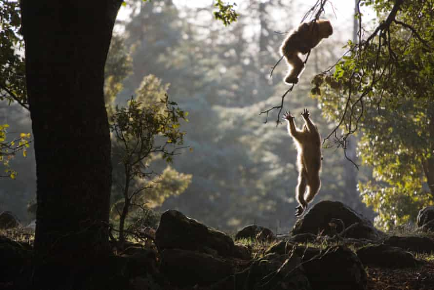 The protection for the endangered barbary ape - the only wild primate in Europe - was increased to the highest level.