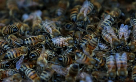 Beekeeper stung by post-Brexit ban – and threat to burn 15m bees