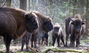 bison in Białowieża forest