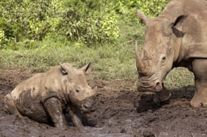 Rhinos at a mud bath in the Hluhluwe game reserve, South Africa