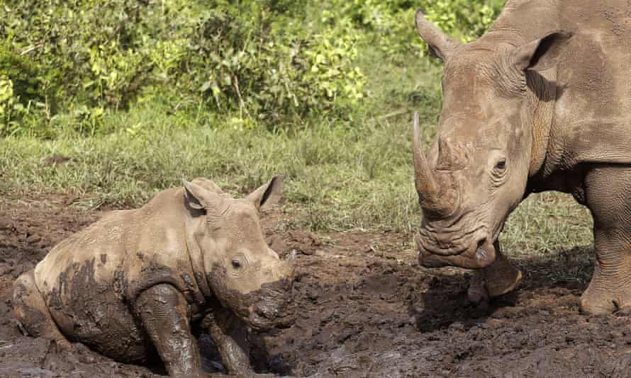 Rhinos at a mud bath in the Hluhluwe game reserve on the outskirts of Hluhluwe, South Africa