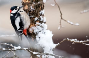 A spotted woodpecker sits on a snow-covered tree