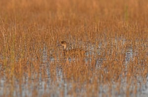 A grey teal among the canegrass