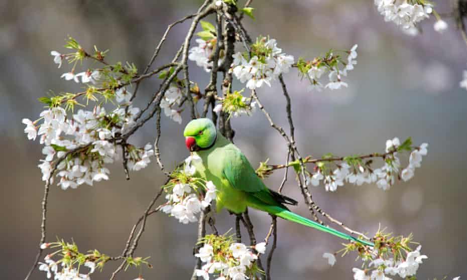 A parakeet in St James's Park, London.