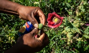 A man harvests poppy plants to produce opium paste.