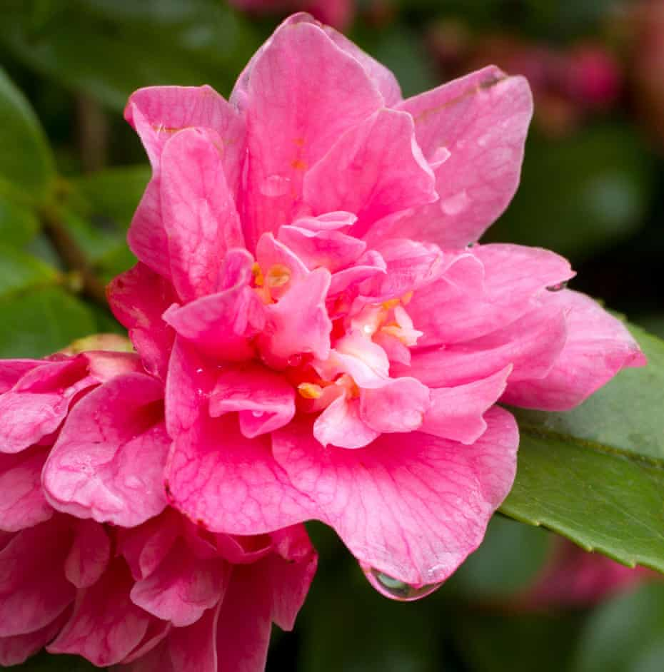 Pretty in pink: The scent of 'Fragrant Pink' camellia is as striking as its blooms.