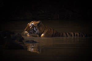 Bath Time. Bengal tigress. Tadoba Andhari Tiger Reserve, India: gold prize in animal portraits
