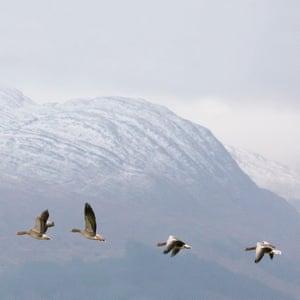 Greylag geese with Garbh Bheinn, Loch Sunart, Highland, Scotland.