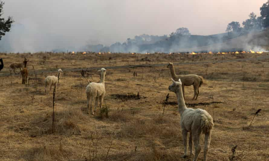 The Kincade Fire approaches a herd of alpacas in Sonoma county, California, on Sunday.